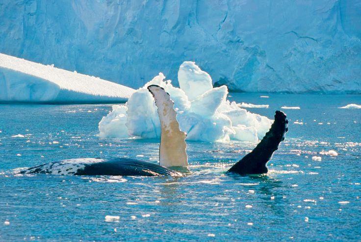 Baleine - Antarctique