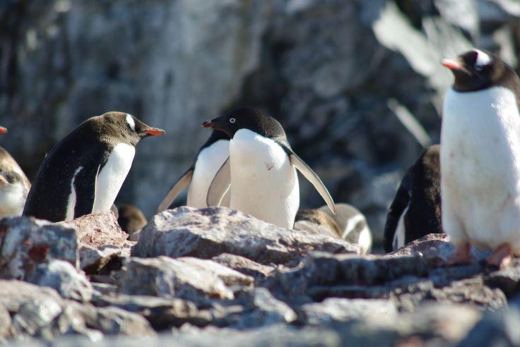 Manchot Adelie - Péninsule Antarctique