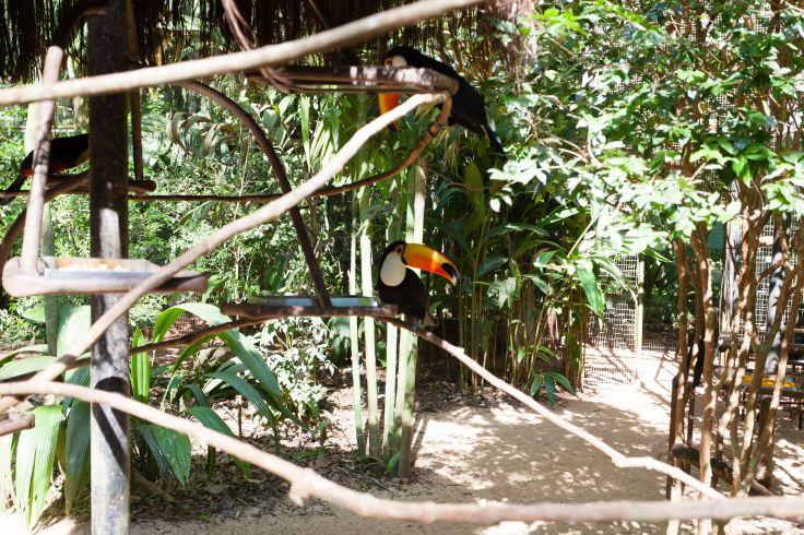 Tucan - Brésil