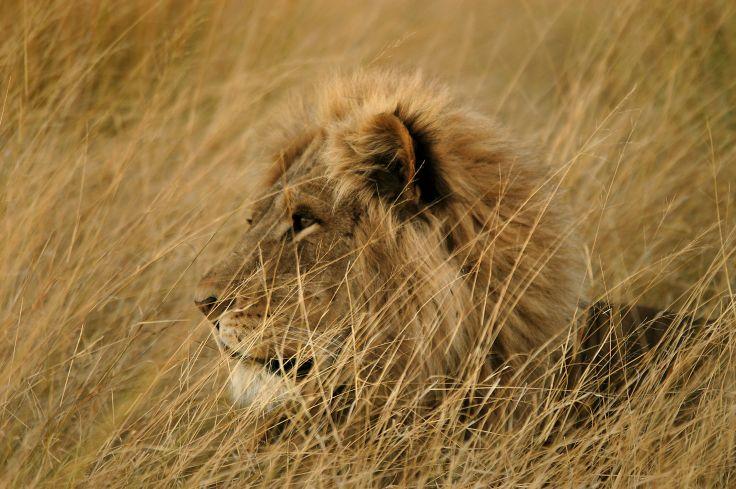 Réserve de Moremi - lion