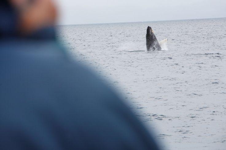 Baleine sous caillou - Le Québec en famille