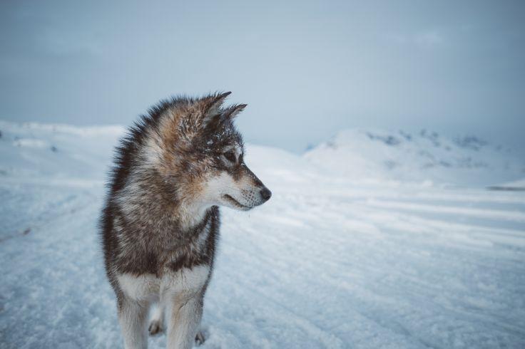 Portrait d'un chien de traineau