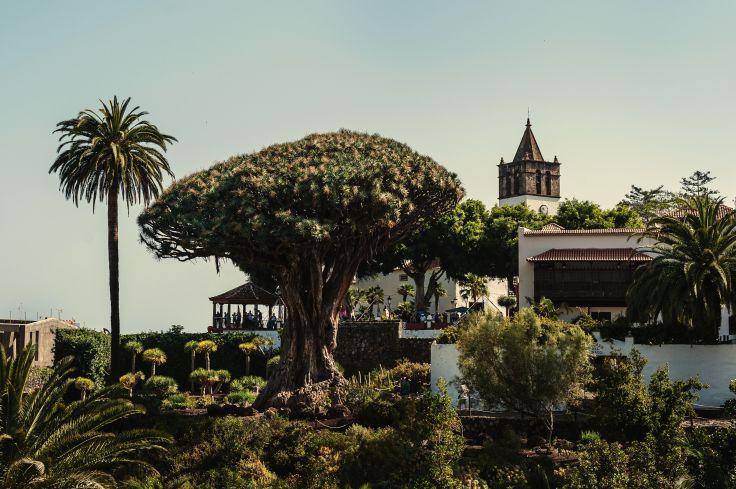 Dragonnier millénaire - Ile de Tenerife - Îles Canaries - Espagne