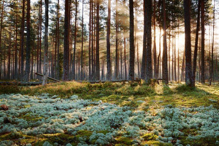 Forêt d'Estonie