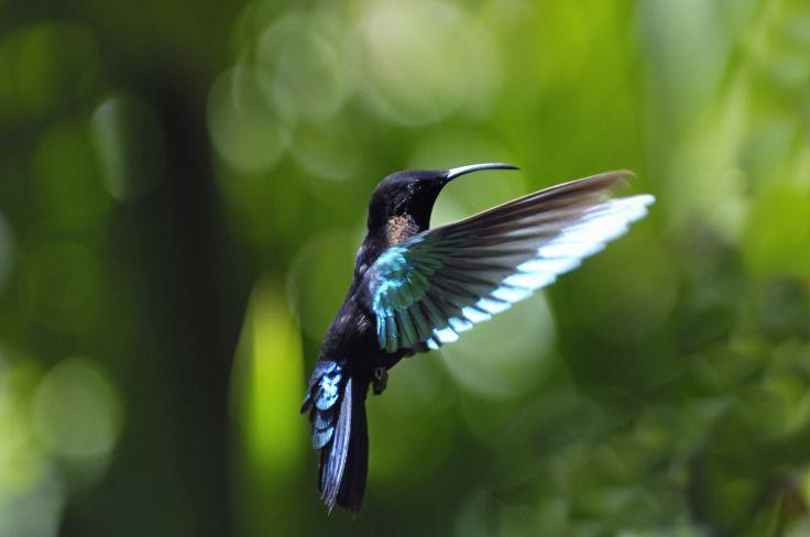 Colibri - Guadeloupe