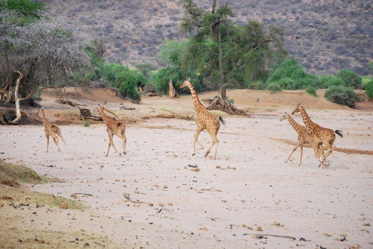 Girafes dans la réserve nationale de Samburu - Kenya
