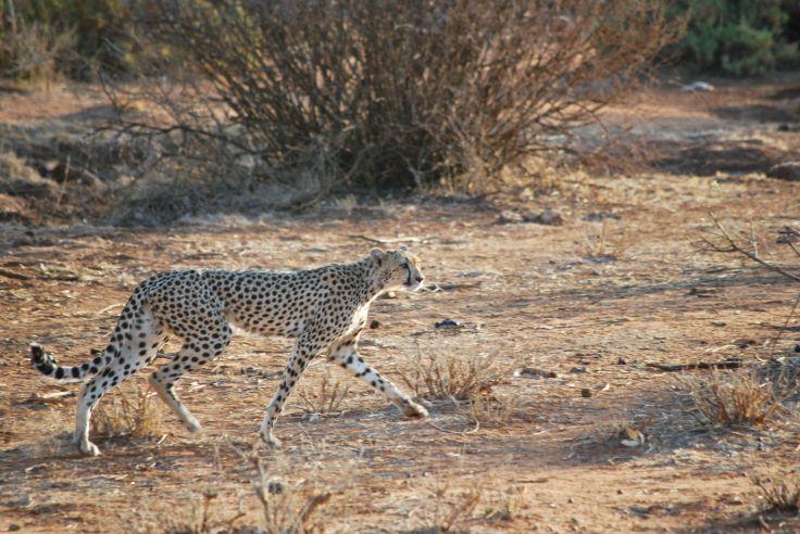Léopard dans la réserve nationale de Samburu - Kenya