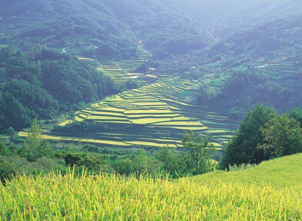 Rizières - Corée du sud