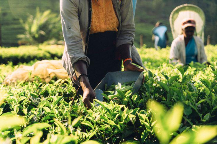 Plantation de thé