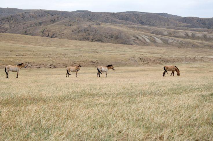 Parc national Khustain-Nuruu - Mongolie