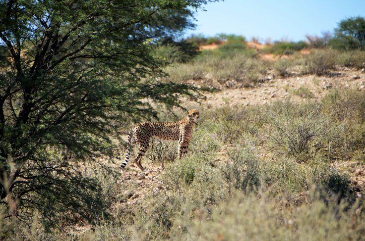 Léopard dans le désert du Kalahari - Namibie