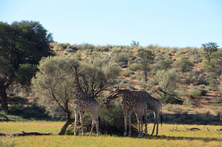 Girafes dans le désert du Kalahari - Namibie