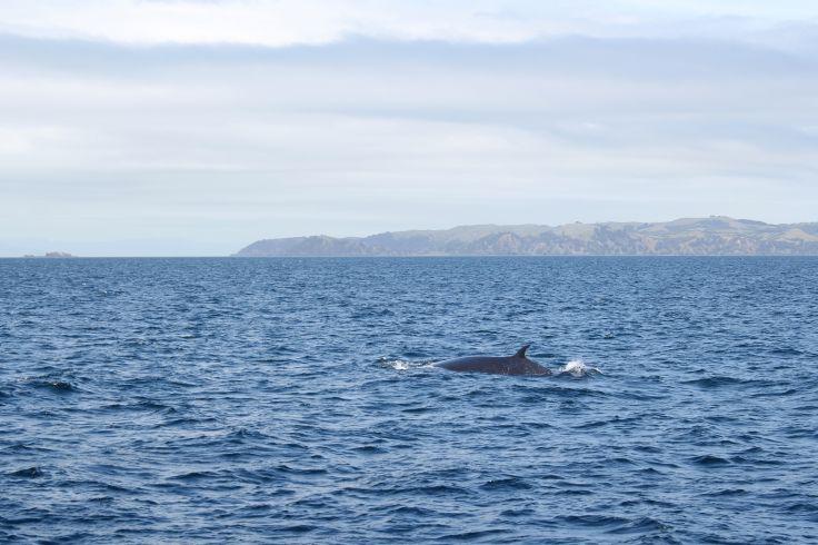 Baleines - Golfe de Hauraki - Nouvelle Calédonie