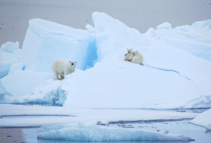 Ours blanc - Spitzberg - Svalbard - Norvège