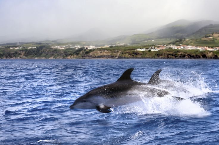 Dauphins - Portugal