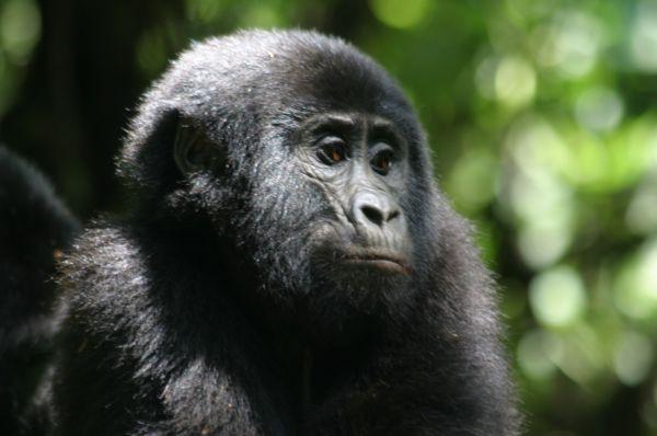 Ouganda et Rwanda, le safari des primates