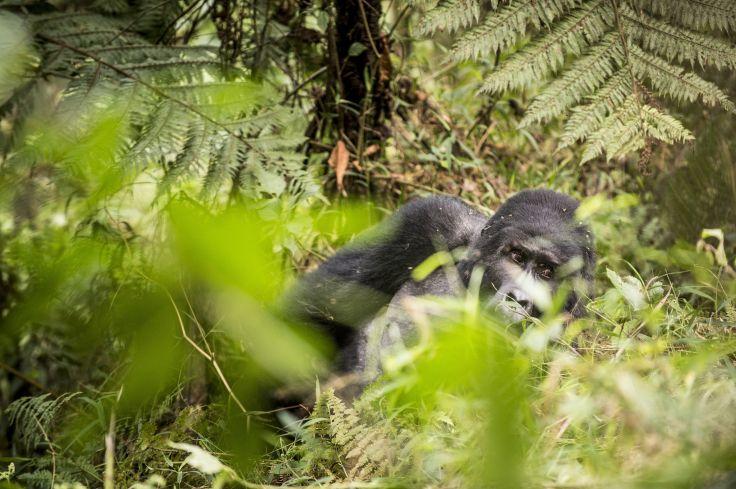 Forêt impénétrable de Bwindi - Ouganda