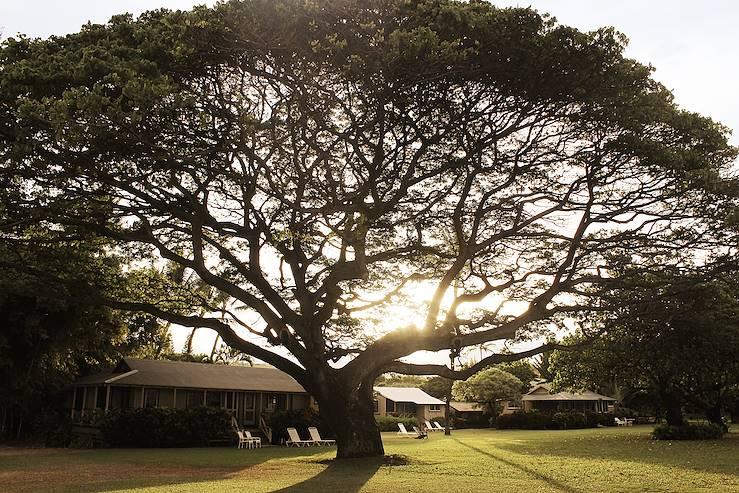 Arbre millénaire sur l'île de Kauai - Hawaï