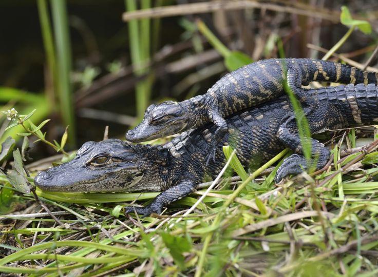 Parc national des Everglades - Floride - Etats-Unis