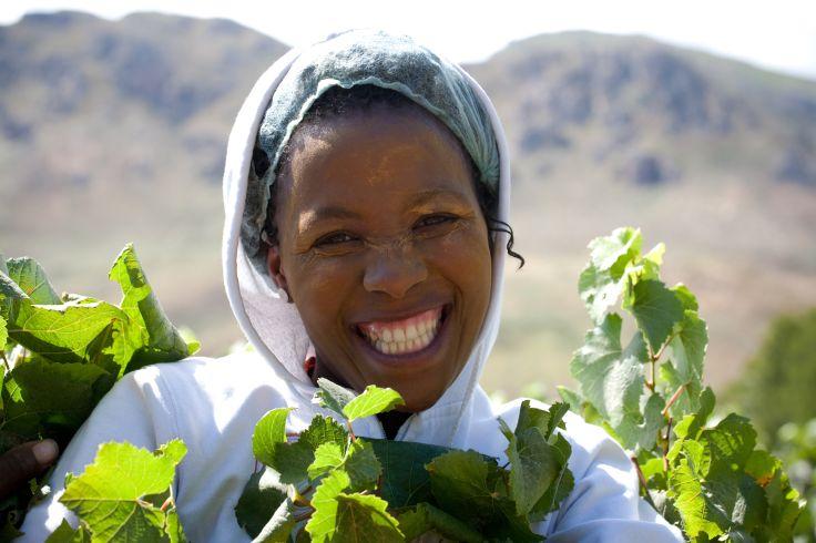 Vendanges - Route des Vins - Afrique du Sud