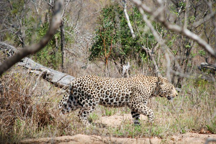 Réserve de Sabi Sand - Mpumalanga - Afrique du Sud
