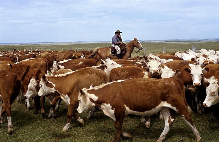 cavalier avec un troupeau de vaches